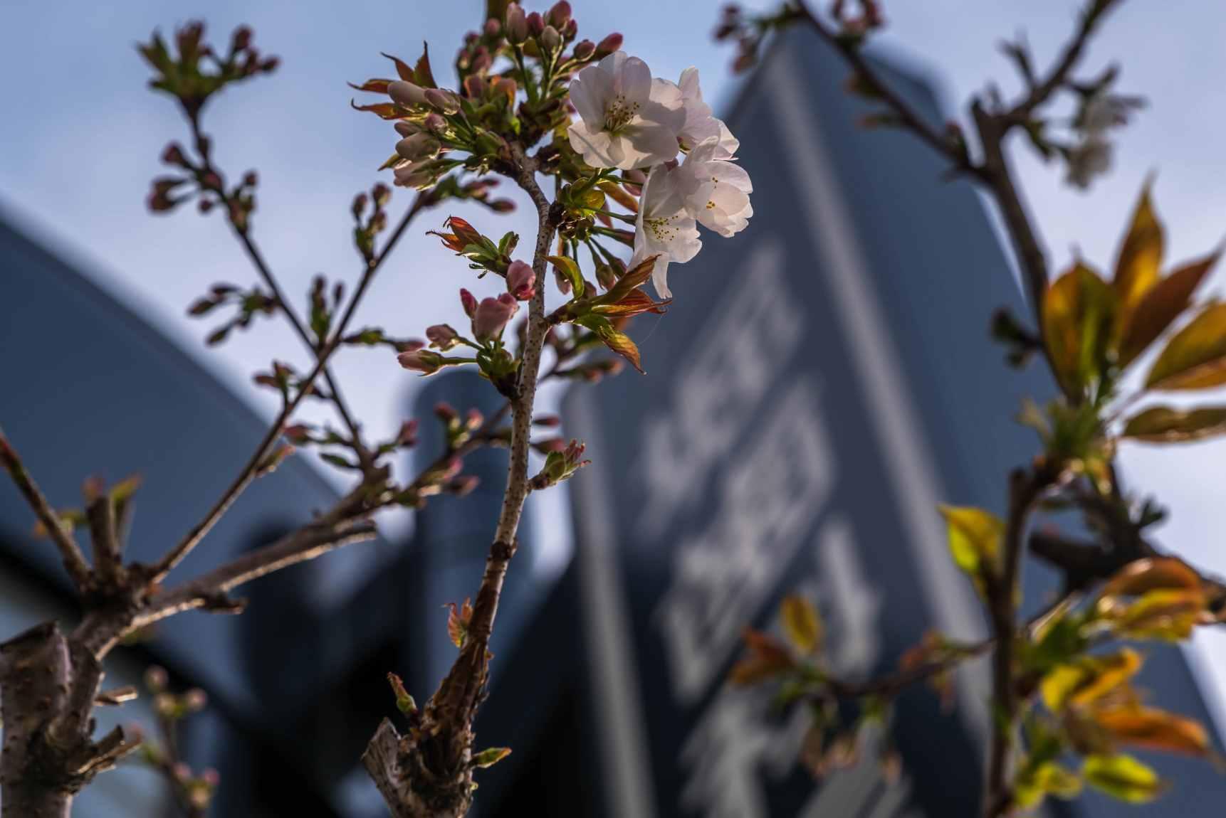 医院の桜_01