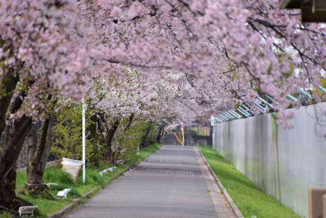桜通り抜け_01
